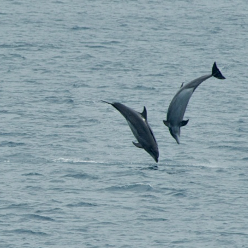 Common Dolphins-2