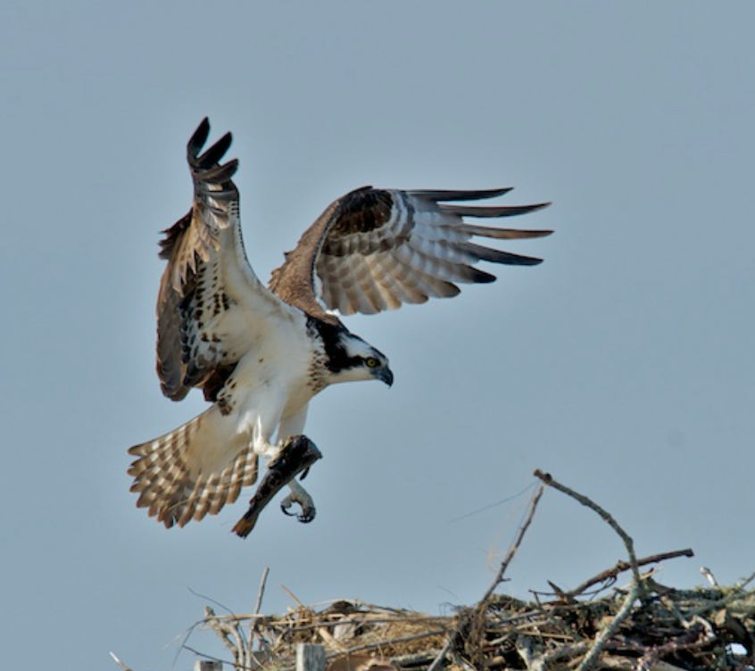 Osprey brings some food to the nest - Chatham
