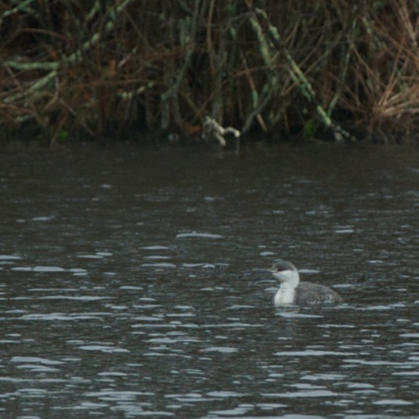 Red throated Loon in non breeding plumage - Sandwich