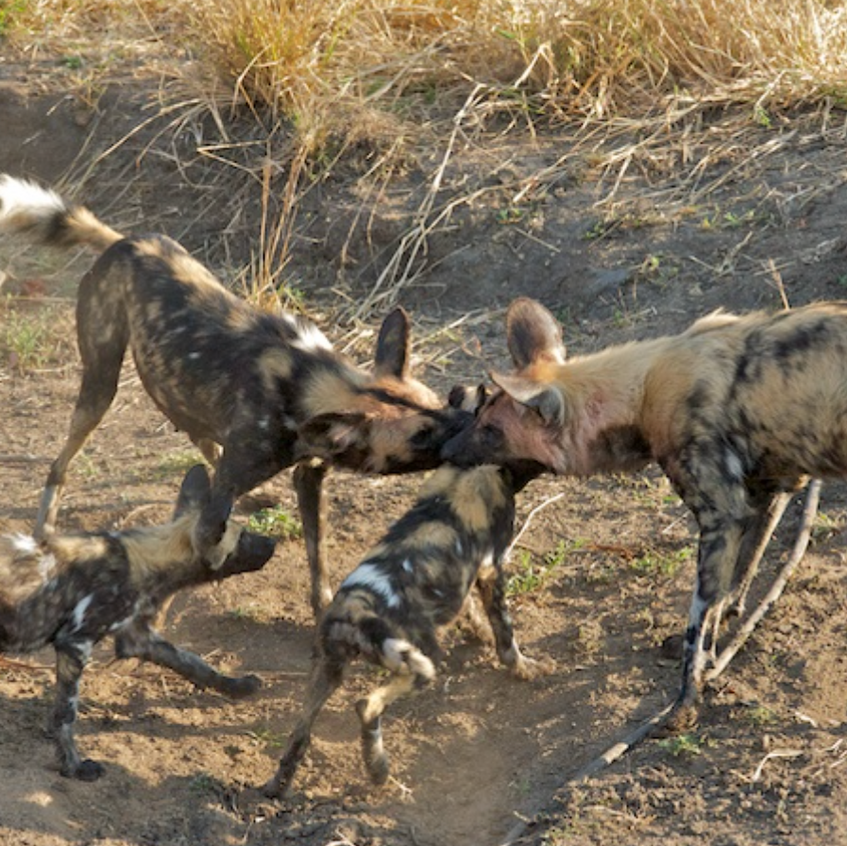 Wild Dogs with Puppies