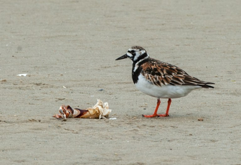 Ruddy turnstone chewing on some lobster scraps.