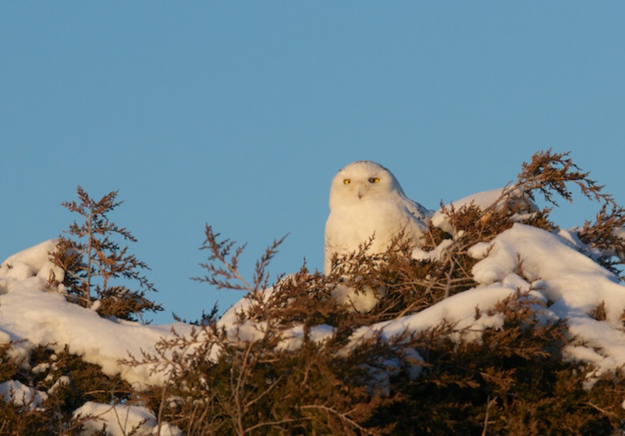 The magnificent Snowy Owl. A juvenile.