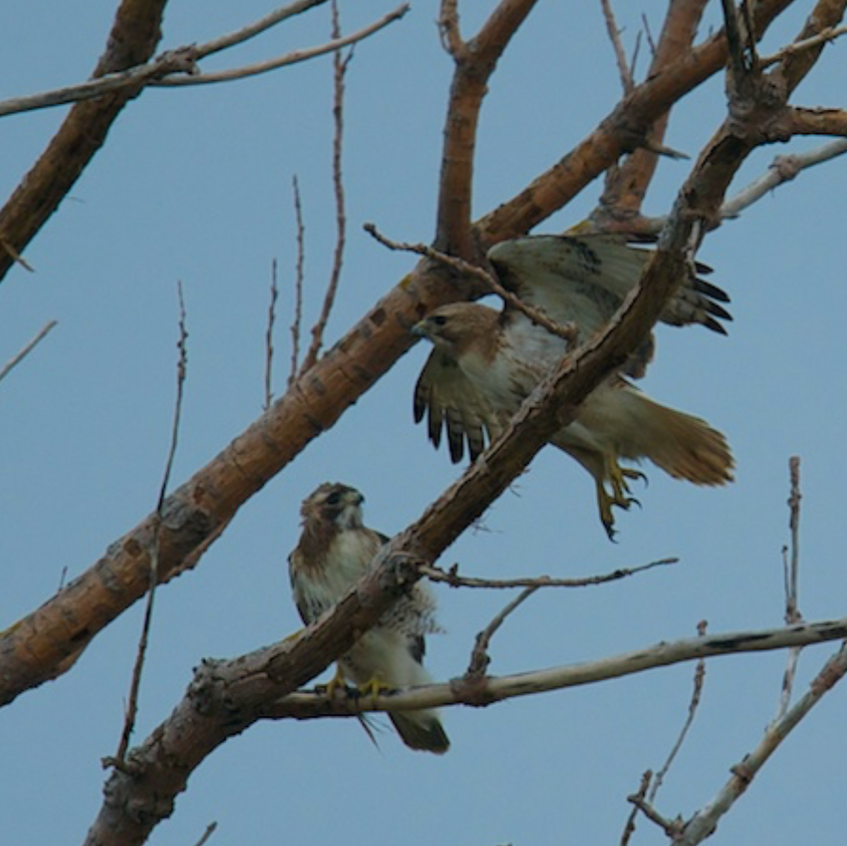 Pair of red tailed hawks