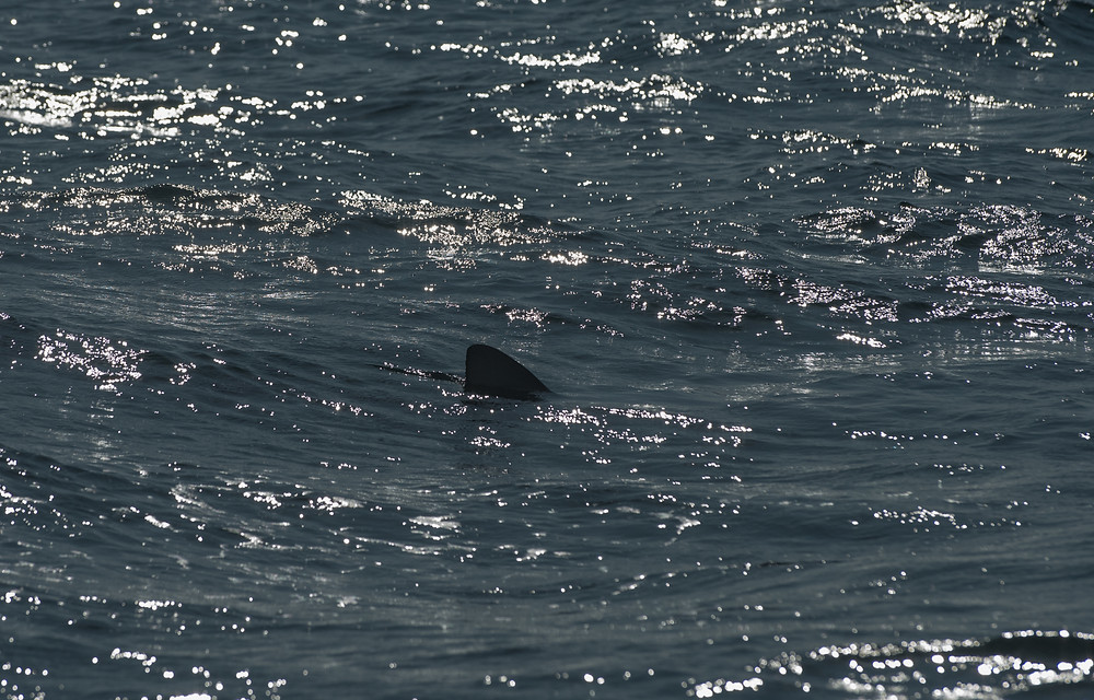 Mako shark at the surface