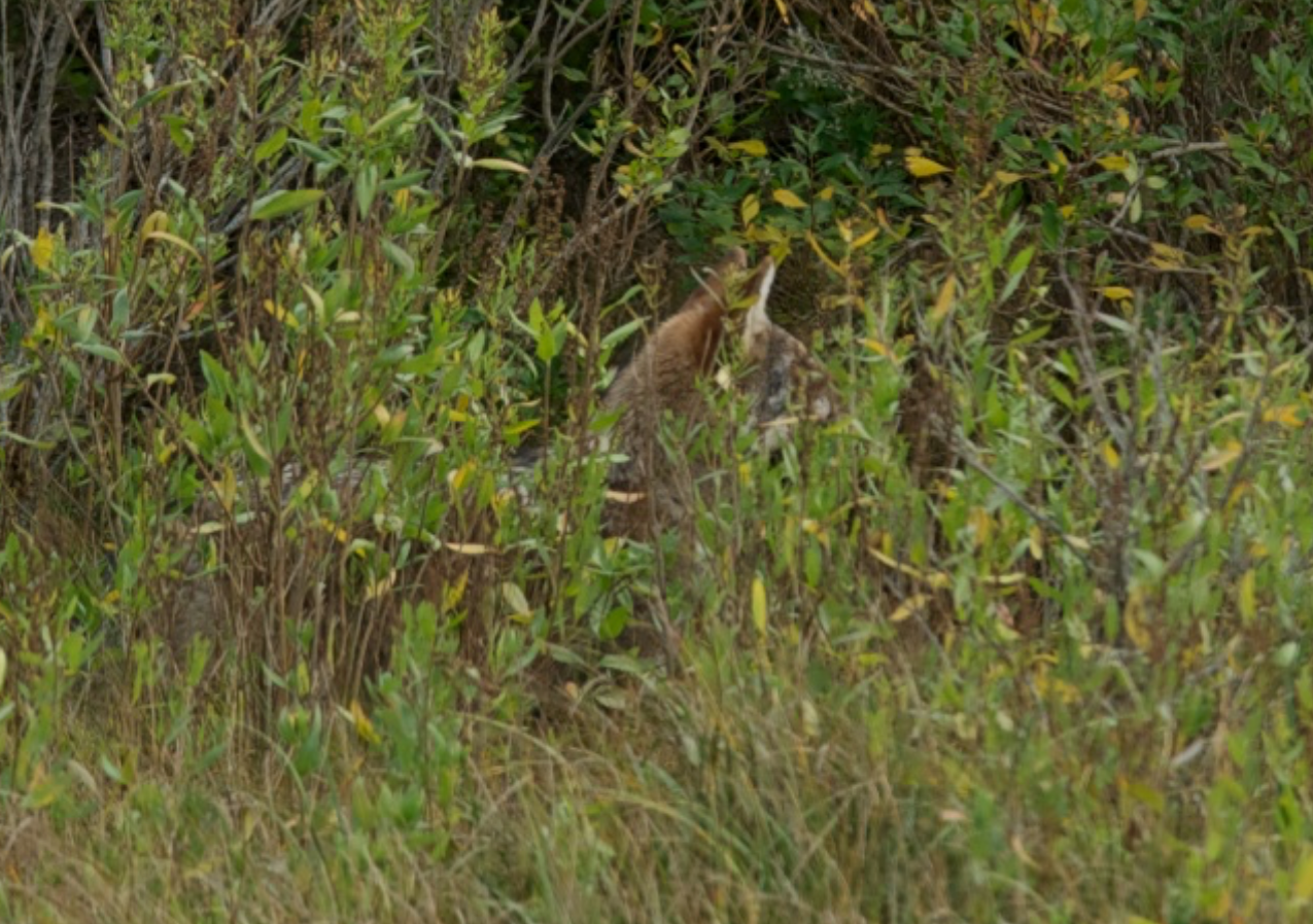 Coyote hunts in Chatham