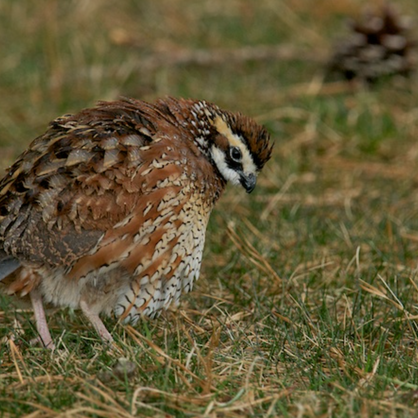 Northern Bobwhite pops out after a brief rain shower - Falmouth