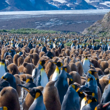 King Penguin colony - Salisbury Plain - South Georgia