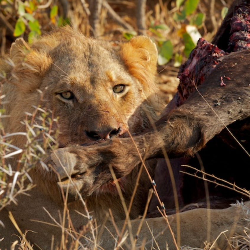 Young male lion feasts on an old Cape buffalo bull