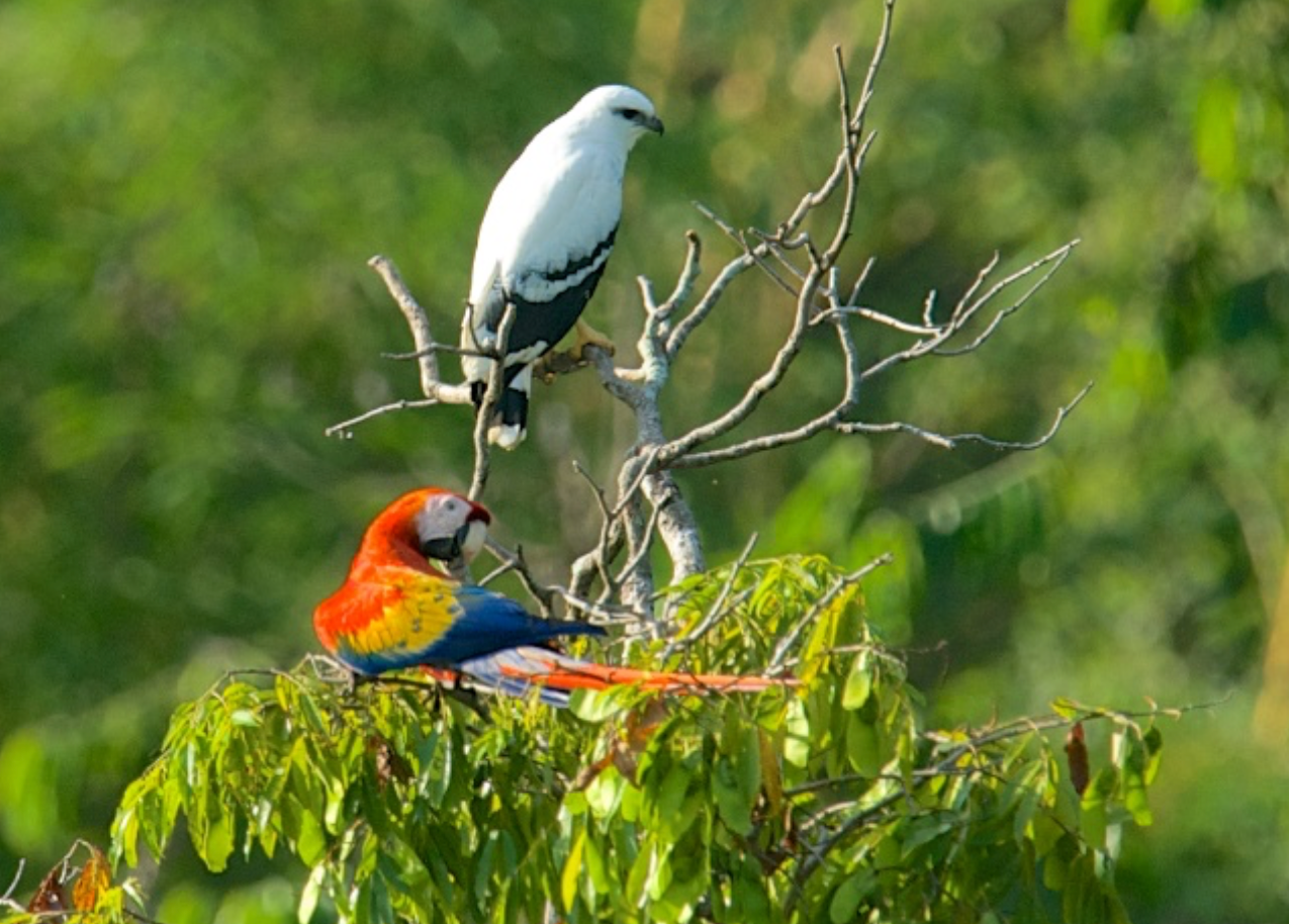 White Hawk and Scarlet Macaw share space, but have different interests