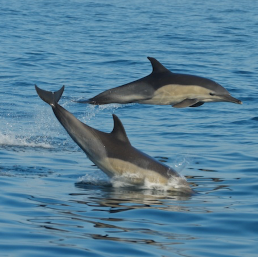 Common Dolphins chase a bait ball near Seal Island