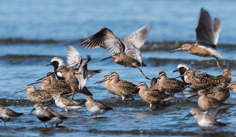 Shorebirds refueling on the flats in Gray's Harbor. Short billed dowitchers, dunlins, and Black bellied plovers are seen here.