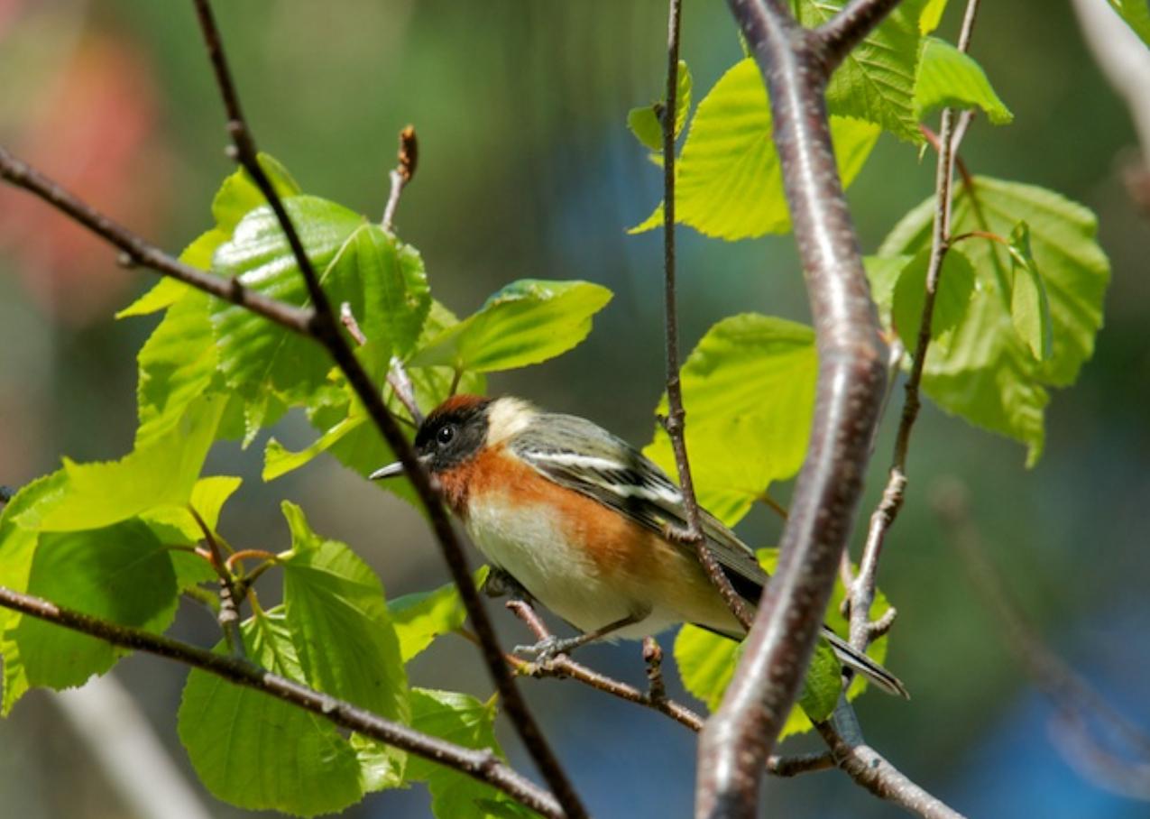 Bay Breatsted Warbler