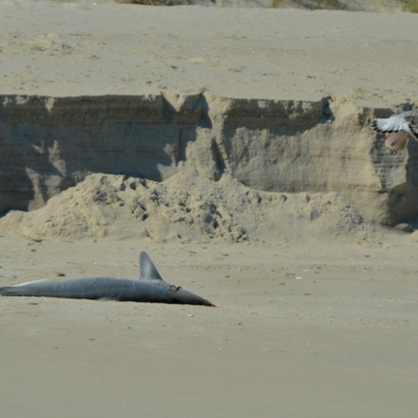 Dead Mako Shark on Monomoy. Measured about six feet in length. Cause of death unknown.