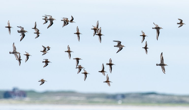 Dunlins and red knots (larger birds) in flight over Tern Island in Chatham.