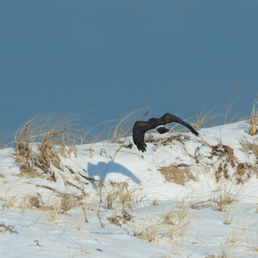 Northern Harrier hunts the dunes (a female)