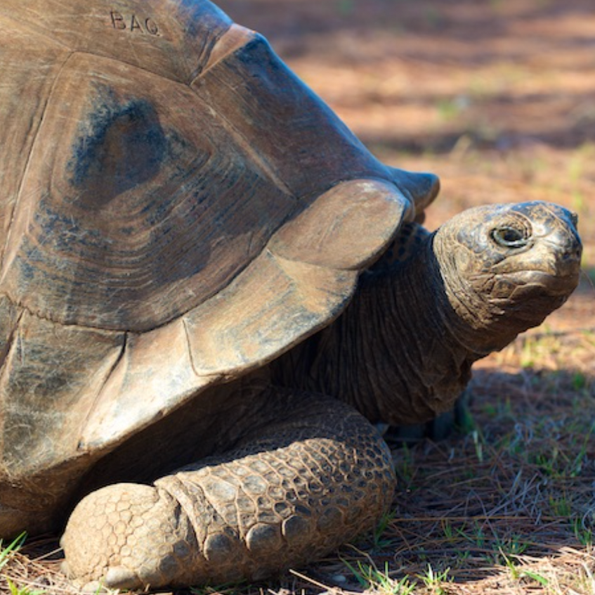 Aldabra Giant Tortoise, This fella is likely more than 250 years old!