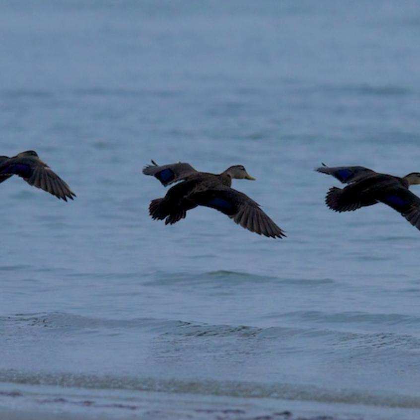 American Black Ducks take flight