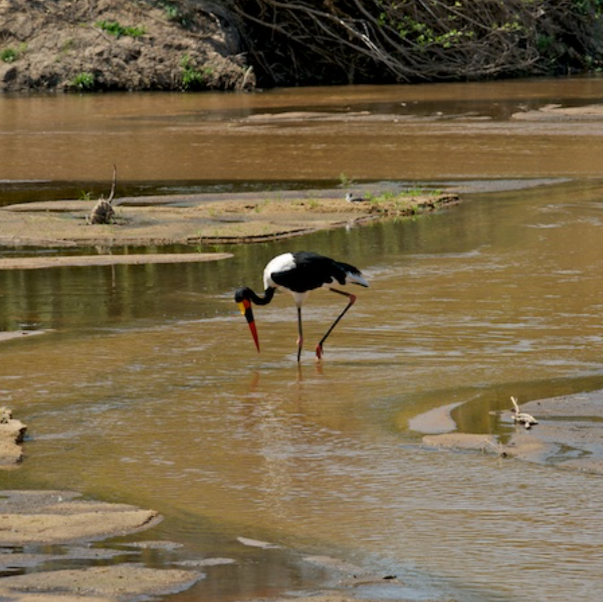 Critically Endangered Yellow billed stork