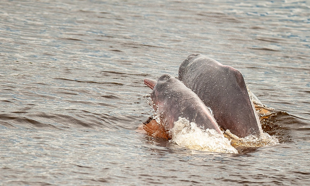 Botos (Pink River dolphins) were common sightings