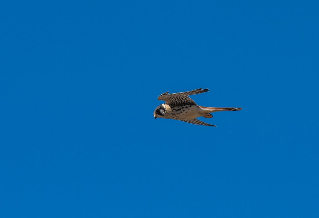 Peregrine falcon who was a frequent visitor on the thermals that increased as the sun rose