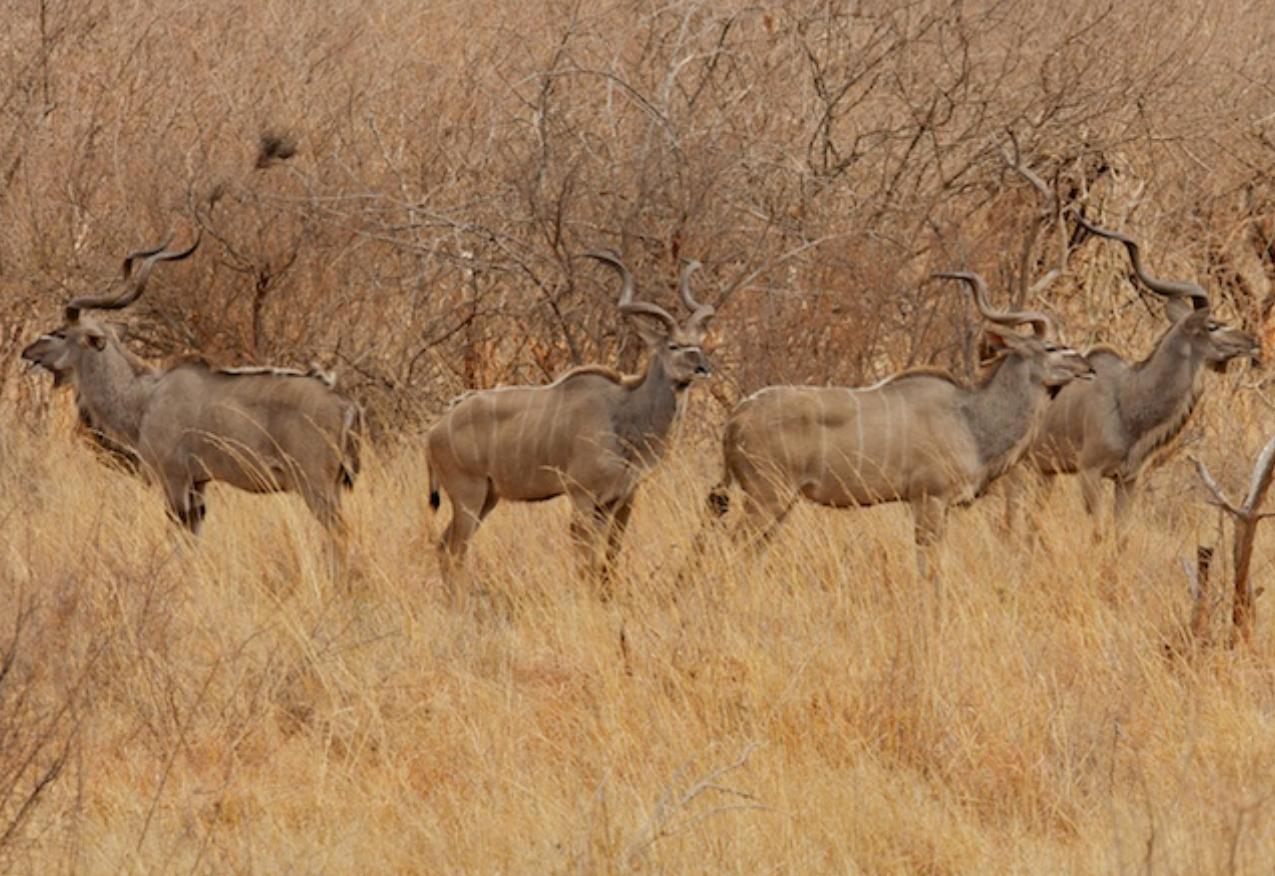 A small group of male Kudu