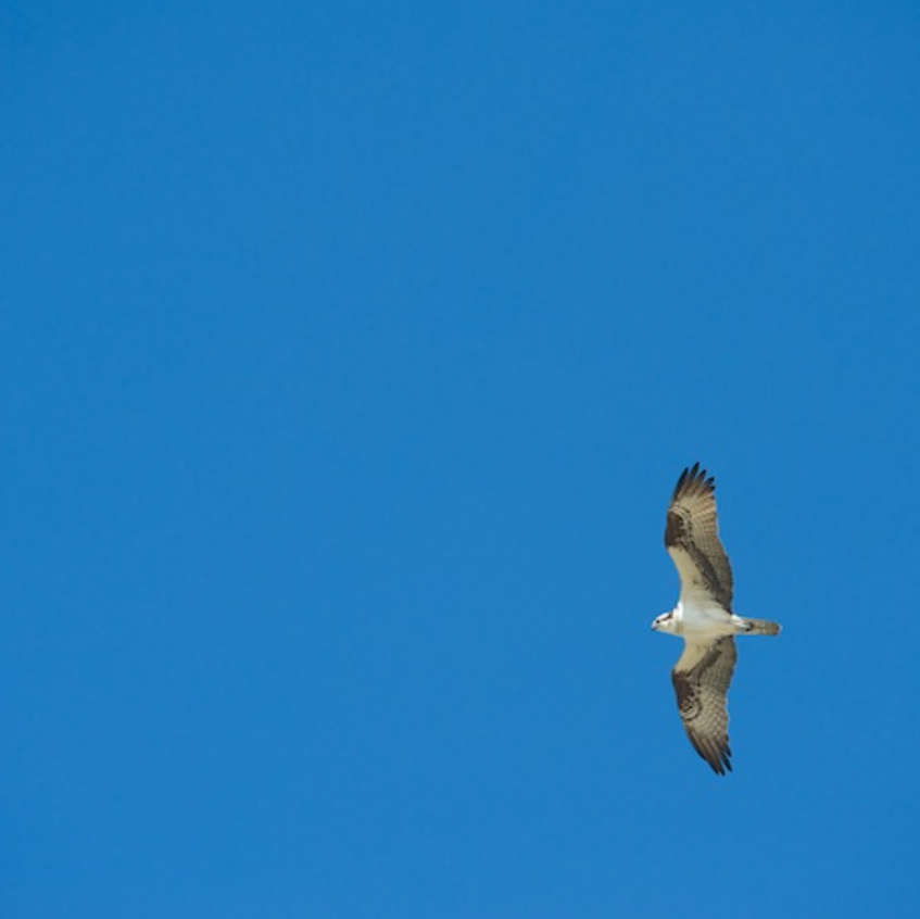 This osprey was returning to a nest with a newly fledged youngster waiting for a chat with Mom (or dad)