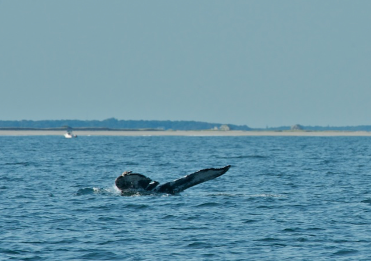 Humpback whale called Trench
