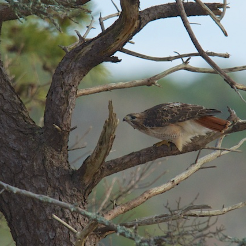 Red Tailed Hawk - Chatham