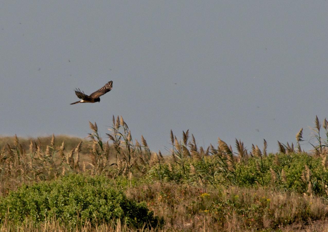 Harrier hunts