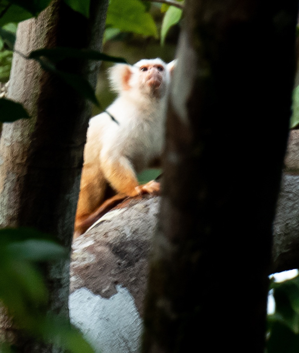 Golden white tassel eared marmoset