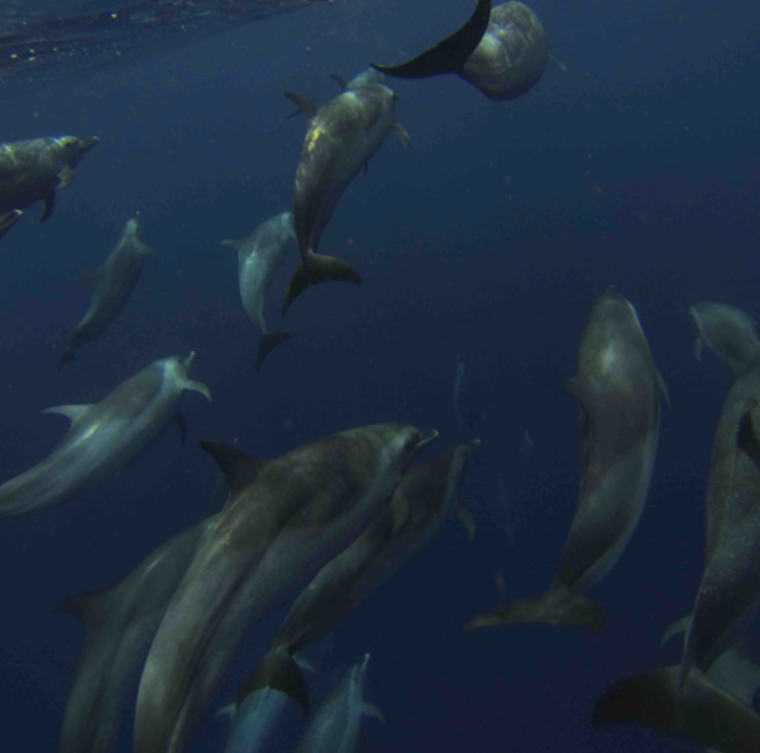 Spotted Dolphins off the bow. Amazing!