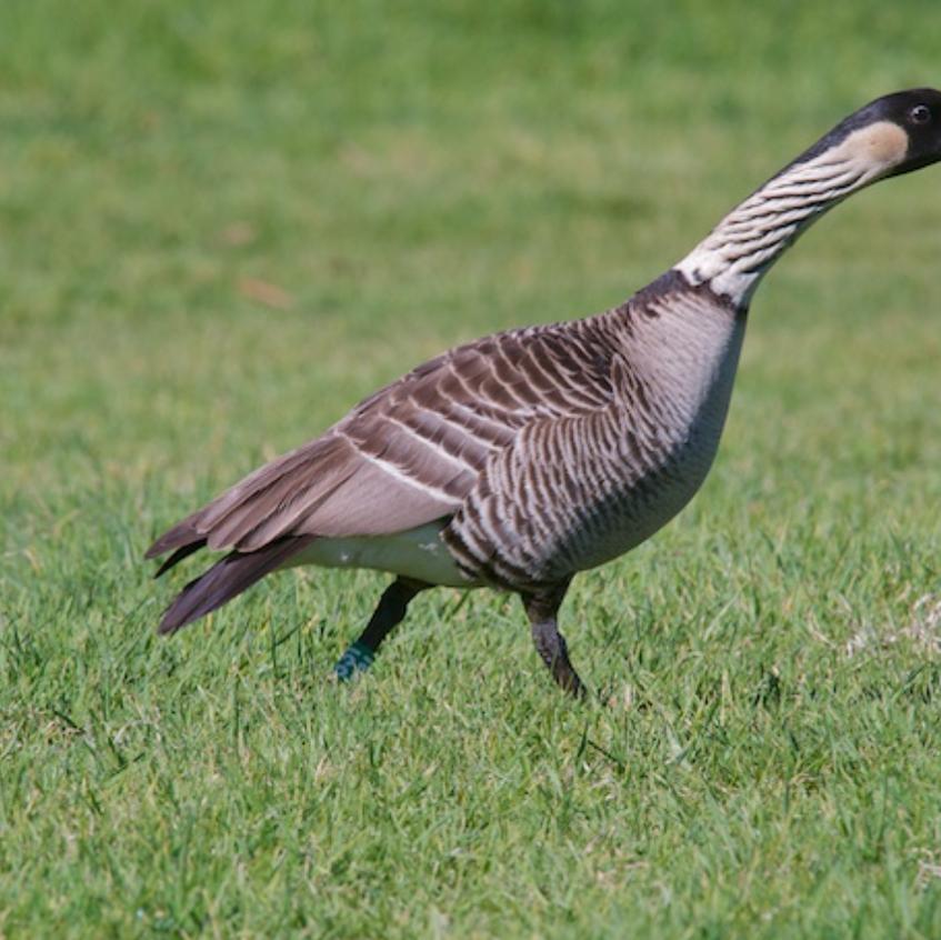 Nene - an ancient goose