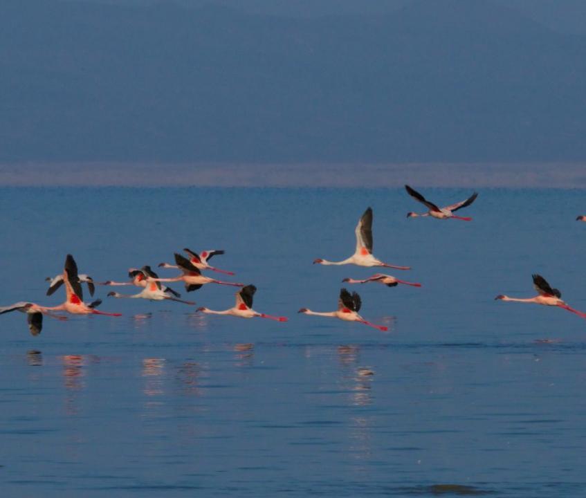 Greater Flamingos at Lake Abba
