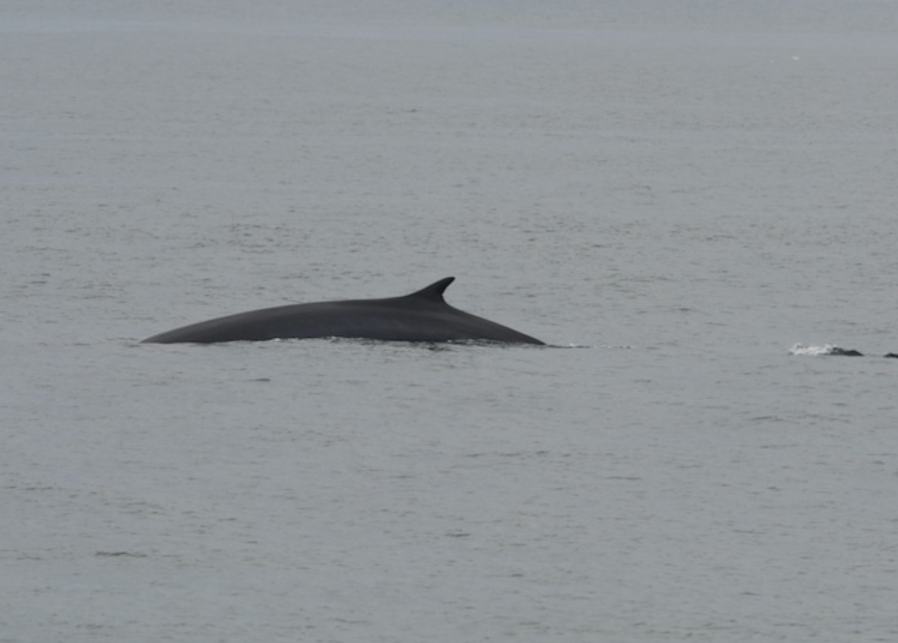Minke Whale at Race Point