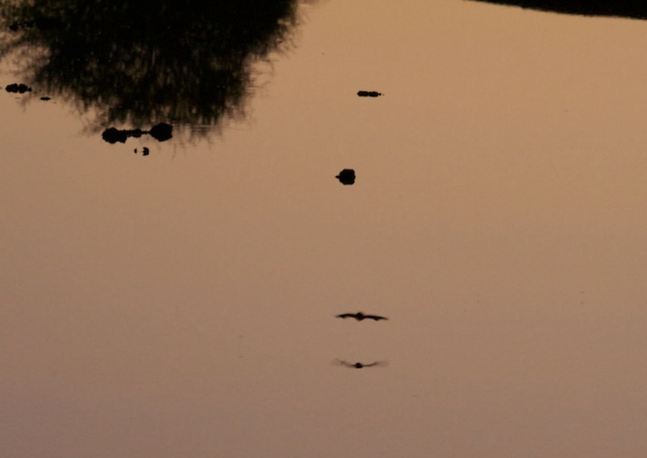 Bats feed on insects just at dusk near a waterhole