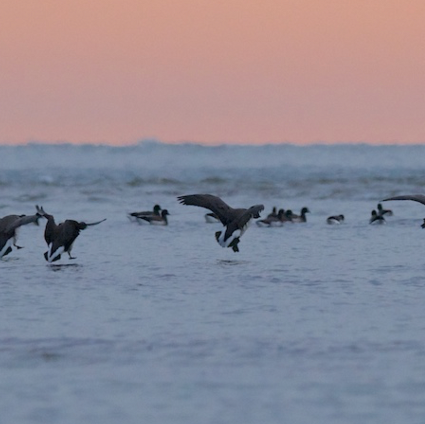 Brandt Geese on their way south.