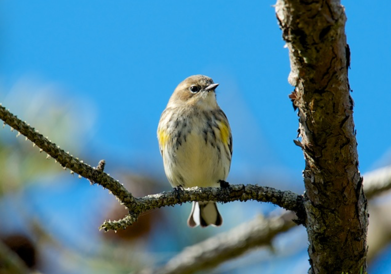 Yellow rumped warbler, MNWR
