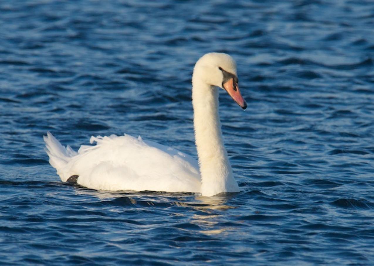 Mute Swan, Chatham
