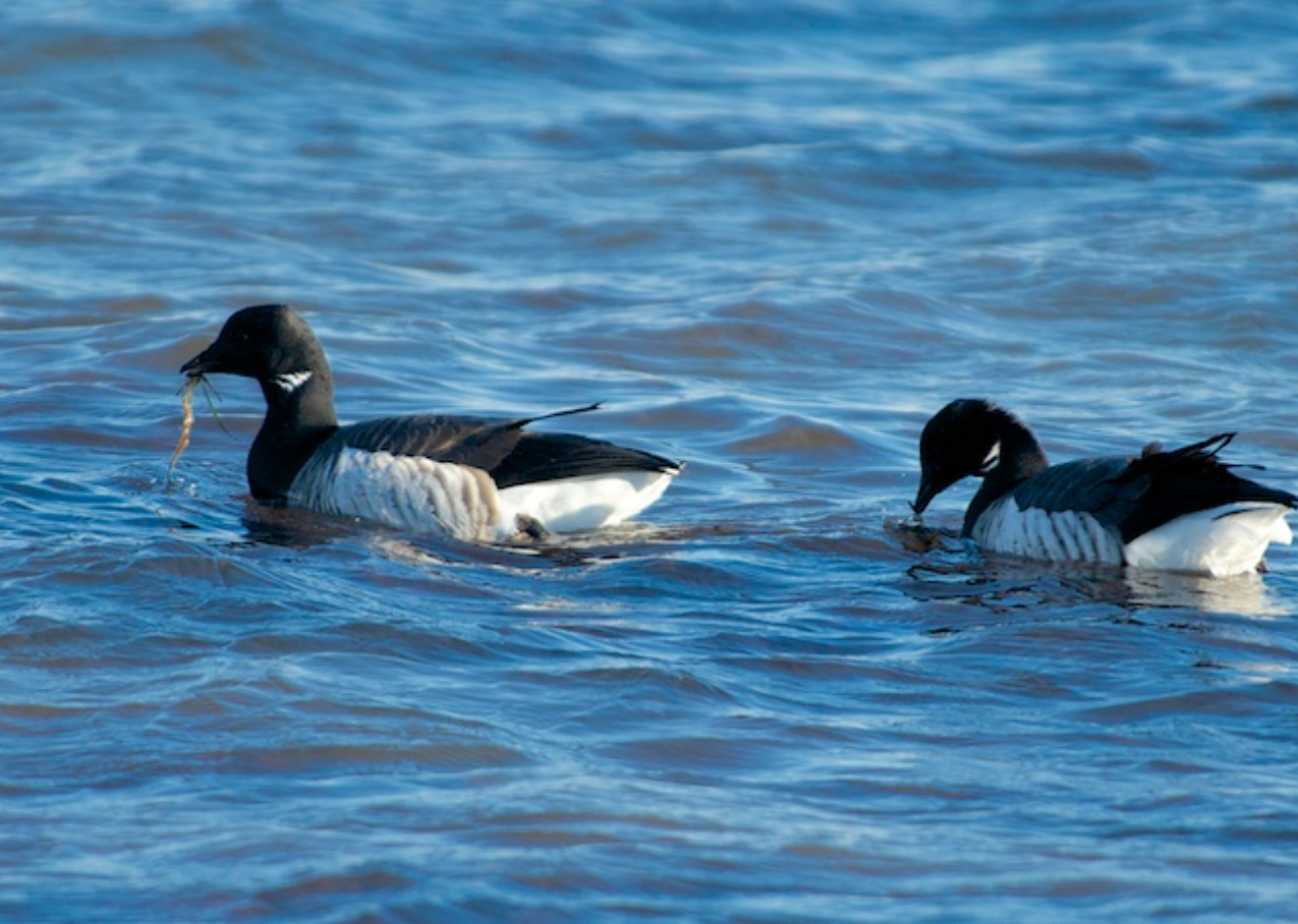Brandt Geese forage on seaweed at the shore's edge