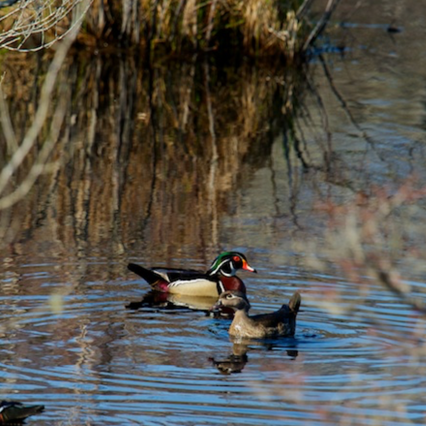 Wood Duck pair and a friend