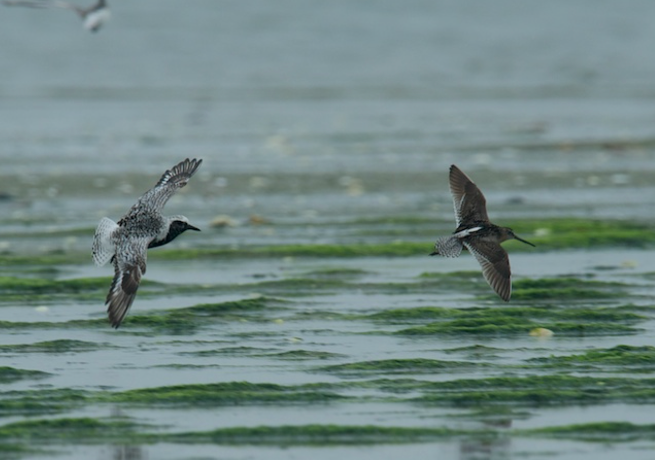 Black bellied plover and a short-billed dowitcher, Tern Island