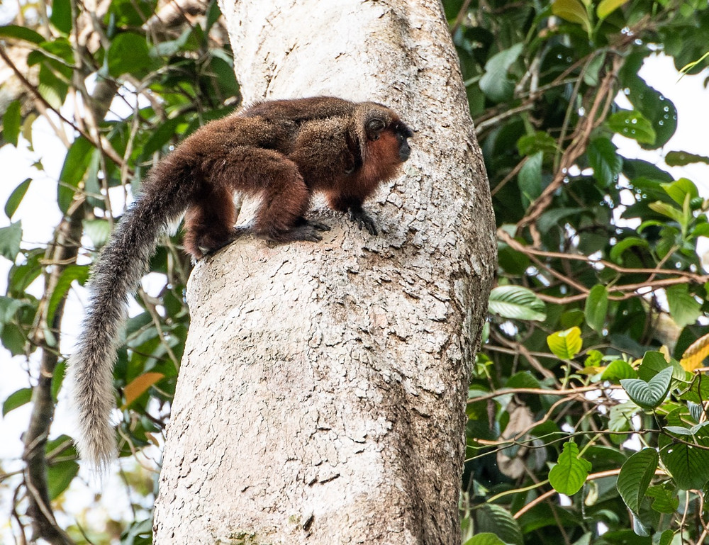 Chestnut bellied Titi Monkey