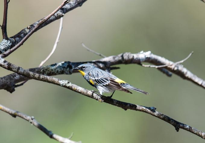 Yellow rumped warbler (Myrtle type)