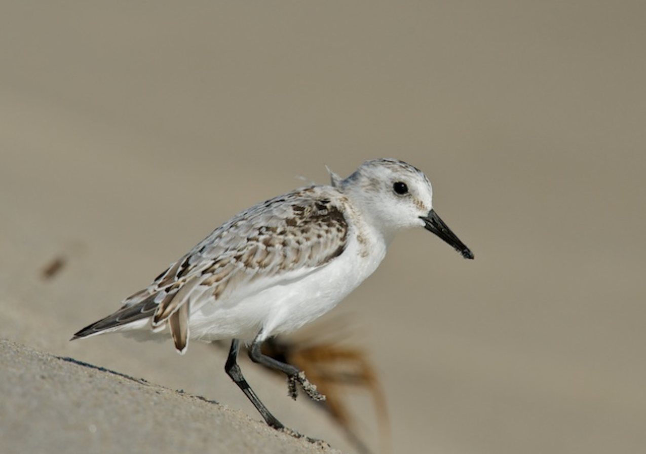 Sanderling at close range