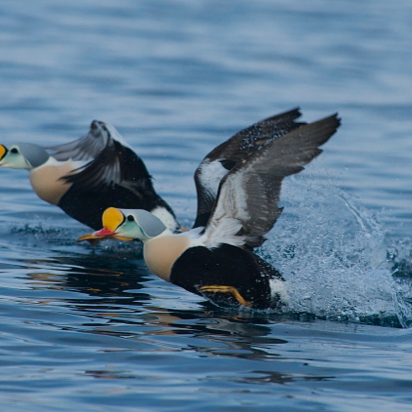 Magnificent King Eiders in flight