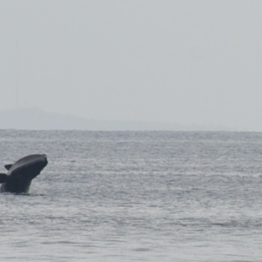 Breaching Northern Right Whale near Race Point