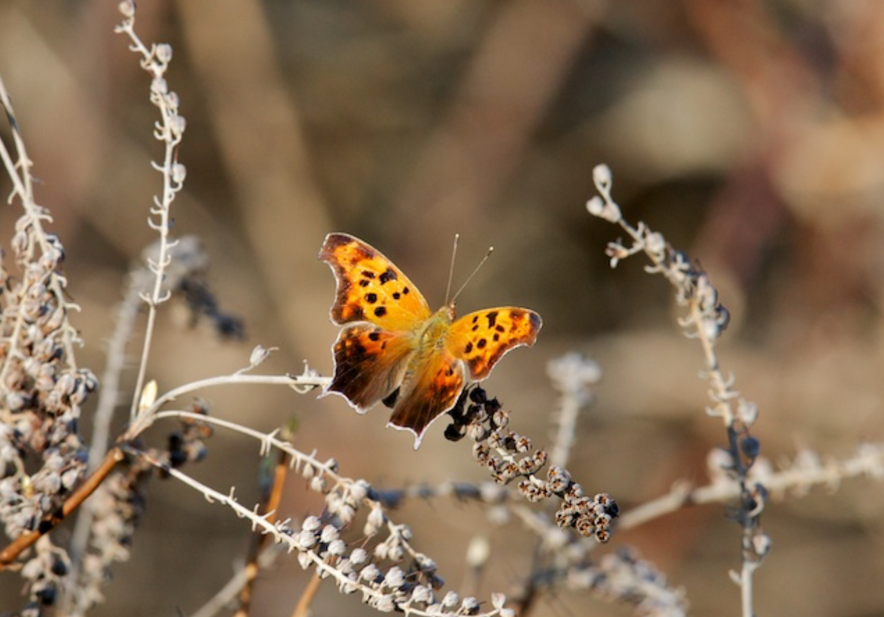 Butterfly - _Question Mark_