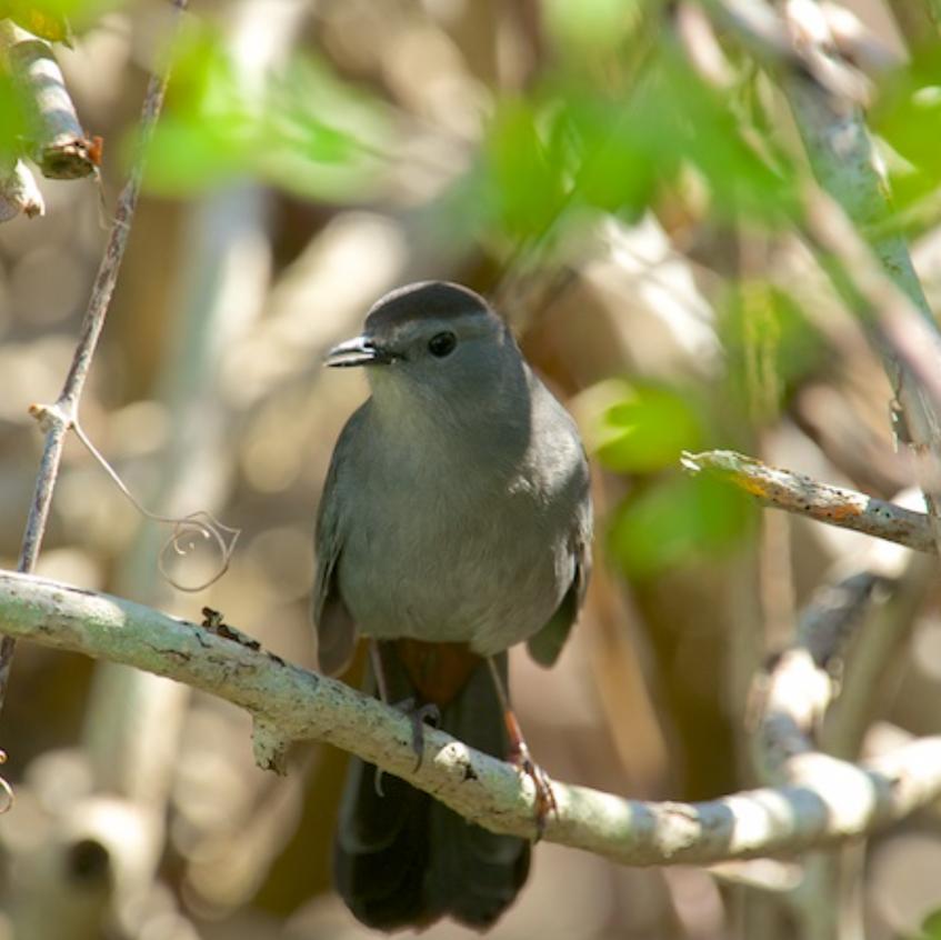 Catbird singing