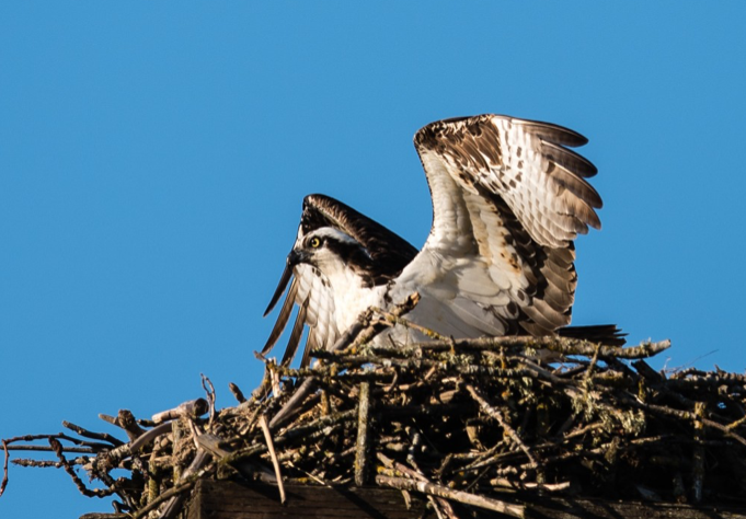 Osprey on the nest - Ridgefield NWR
