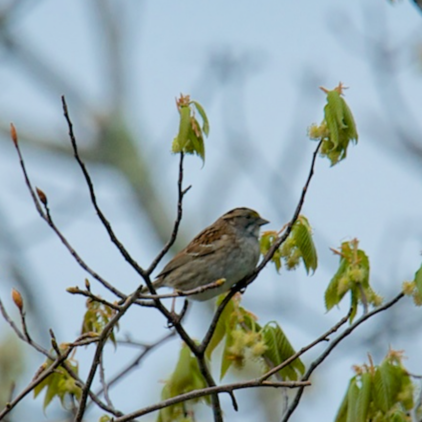 (Possible) Tree Sparrow